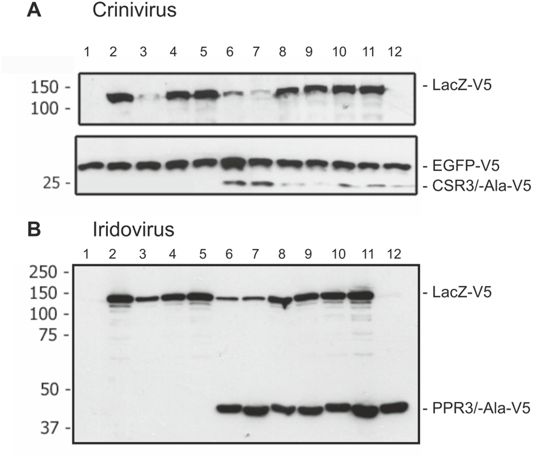 Immunoblot analysis of proteins in <i>Drosophila melanogaster</i> S2 cells transfected to co-express LacZ and viral RNase III proteins.