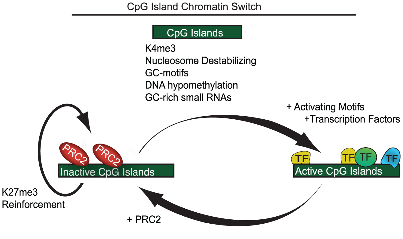 A model showing CpG islands as a chromatin switch.