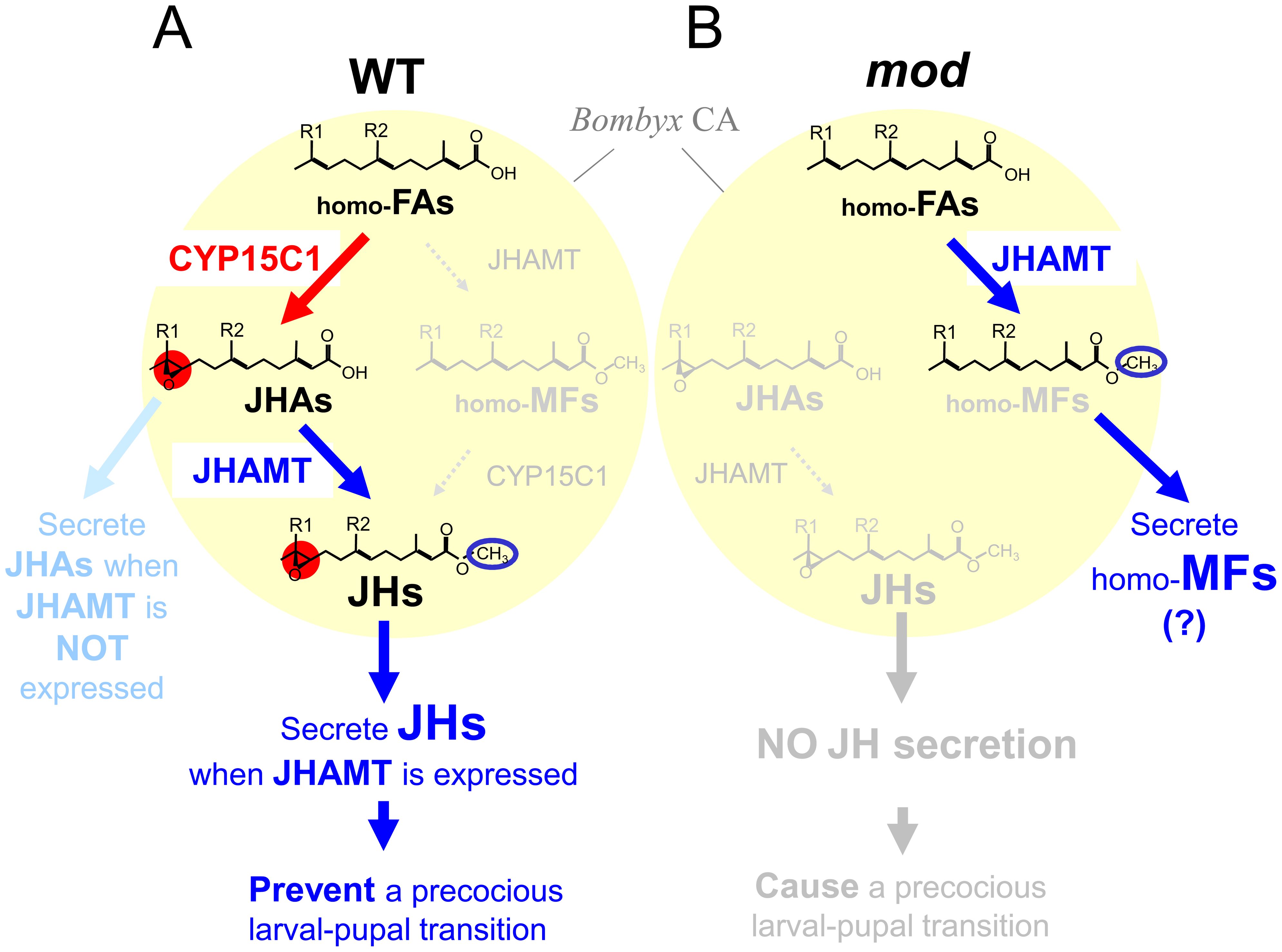A model for JH biosynthetic pathway in the CA of wt and <i>mod</i> silkworms.
