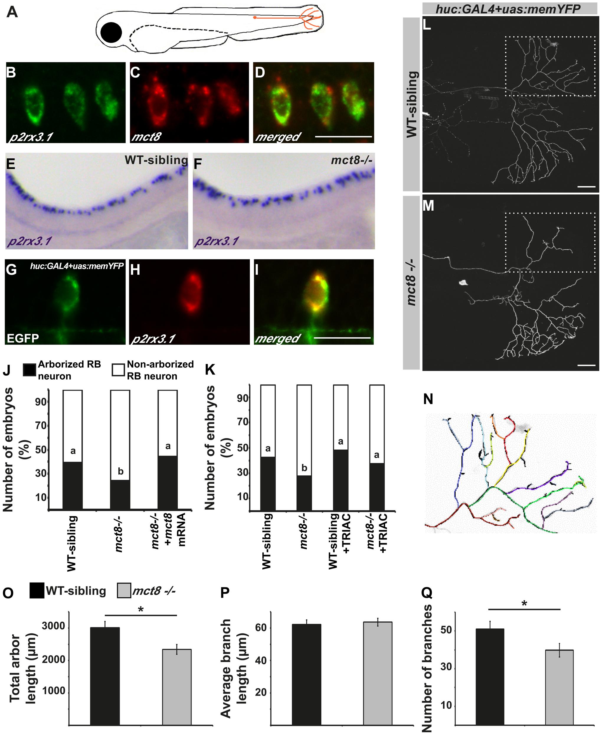 MCT8 regulates axon branching in the Rohon-Beard sensory neurons.