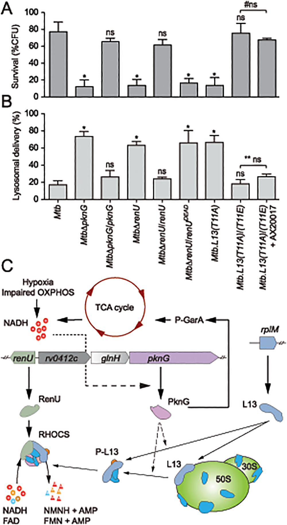 Intracellular trafficking and survival of <i>M</i>. <i>tuberculosis</i> RHOCS mutants.