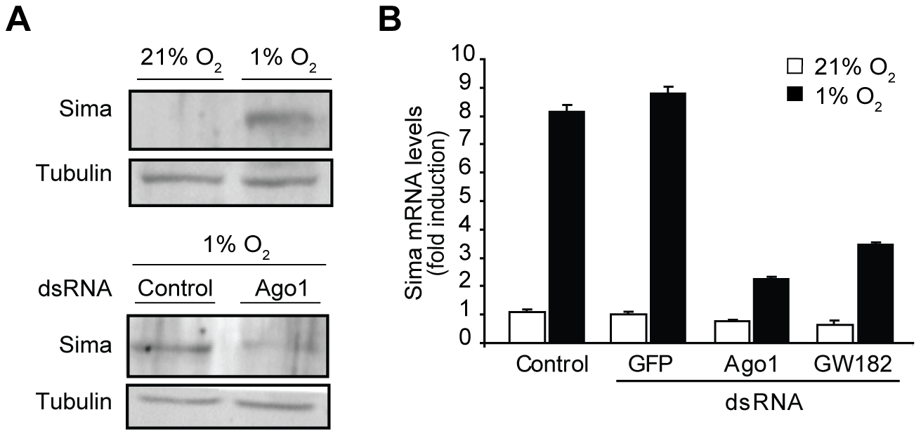 Hypoxic accumulation of Sima protein and mRNA is prevented in cells treated with <i>ago1</i> dsRNA.