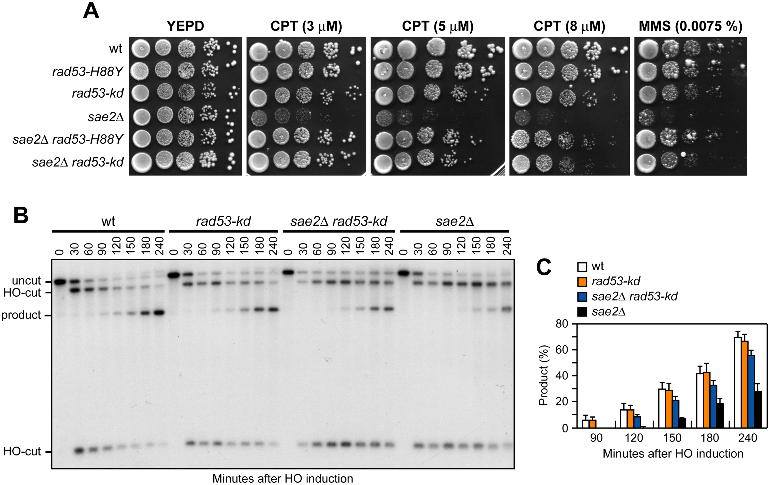 The Rad53-kd variant restores DNA damage resistance and SSA in <i>sae2</i>Δ cells.