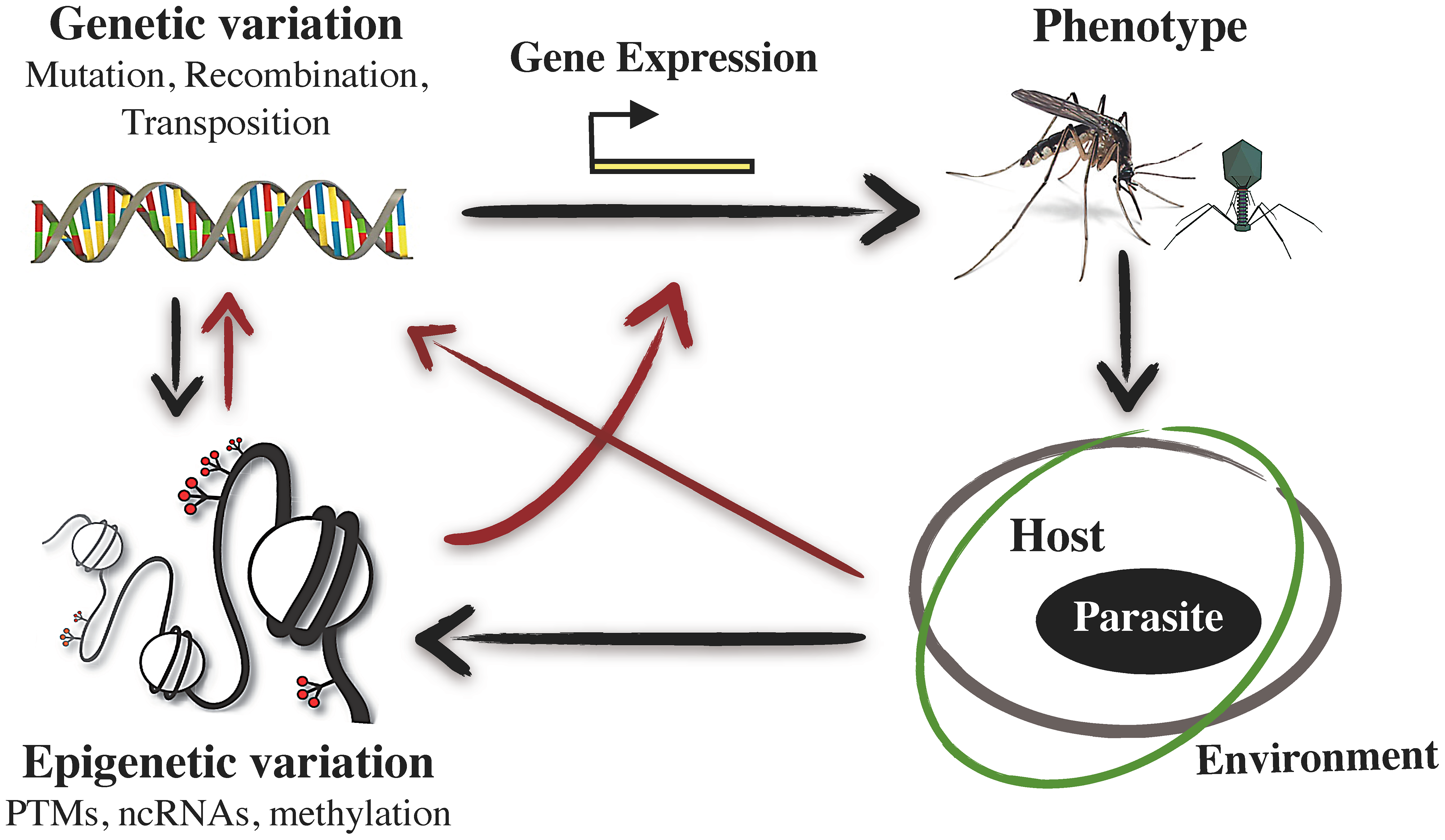 Schematic representation of the interrelations between epigenetic variation, phenotypic variation, and host–pathogen interactions.