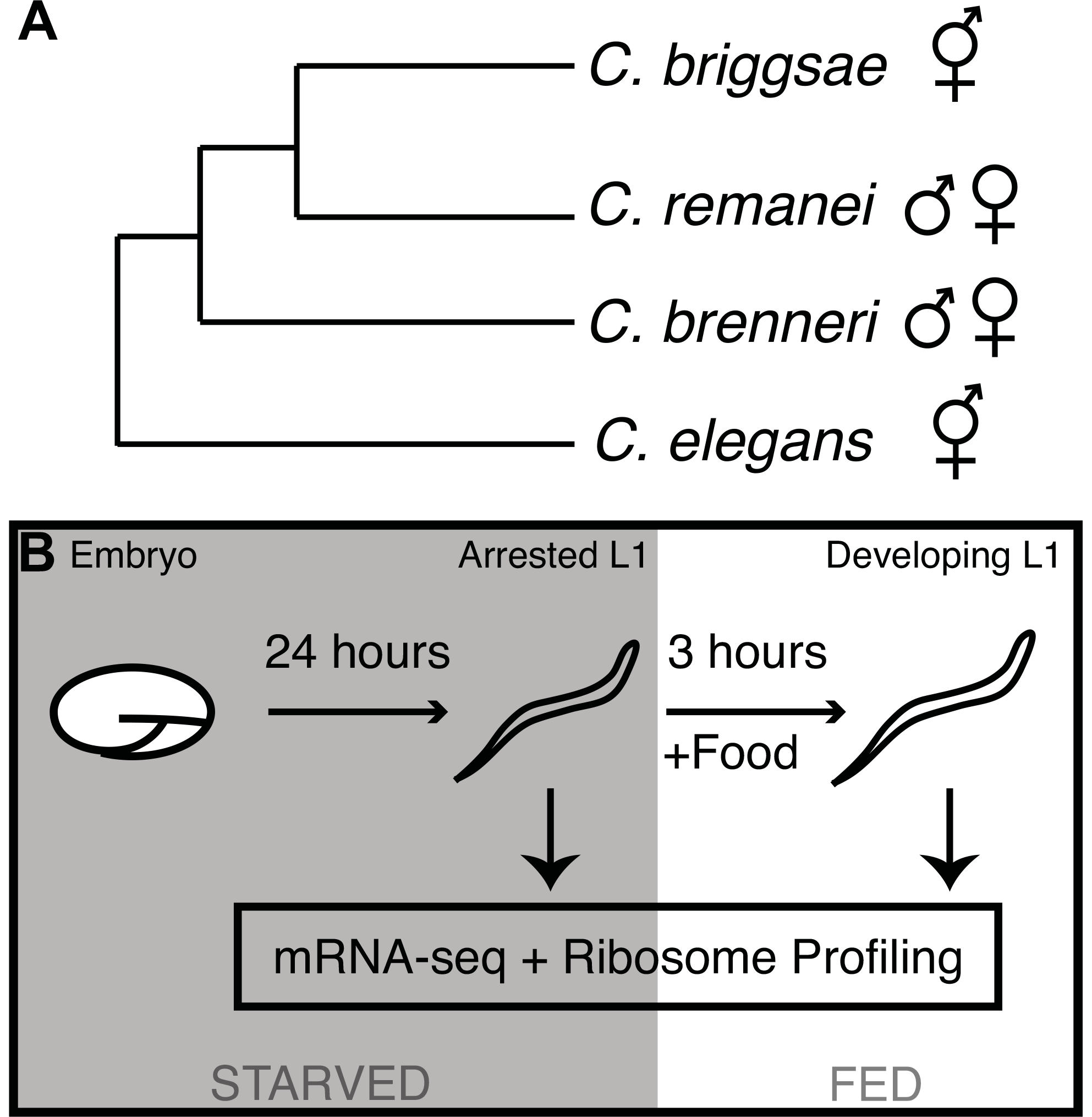 Phylogeny of the <i>elegans</i> supergroup and experimental overview.