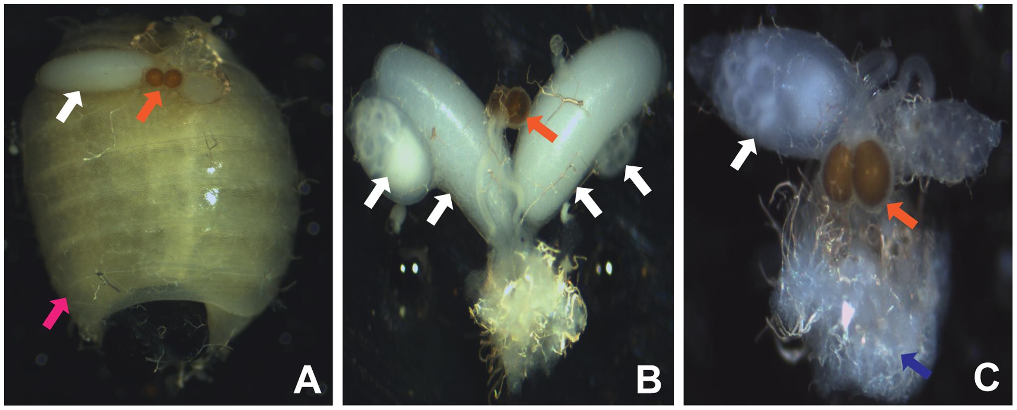 <i>Wolbachia</i>-induced CI phenotype in <i>G. m. morsitans</i>.
