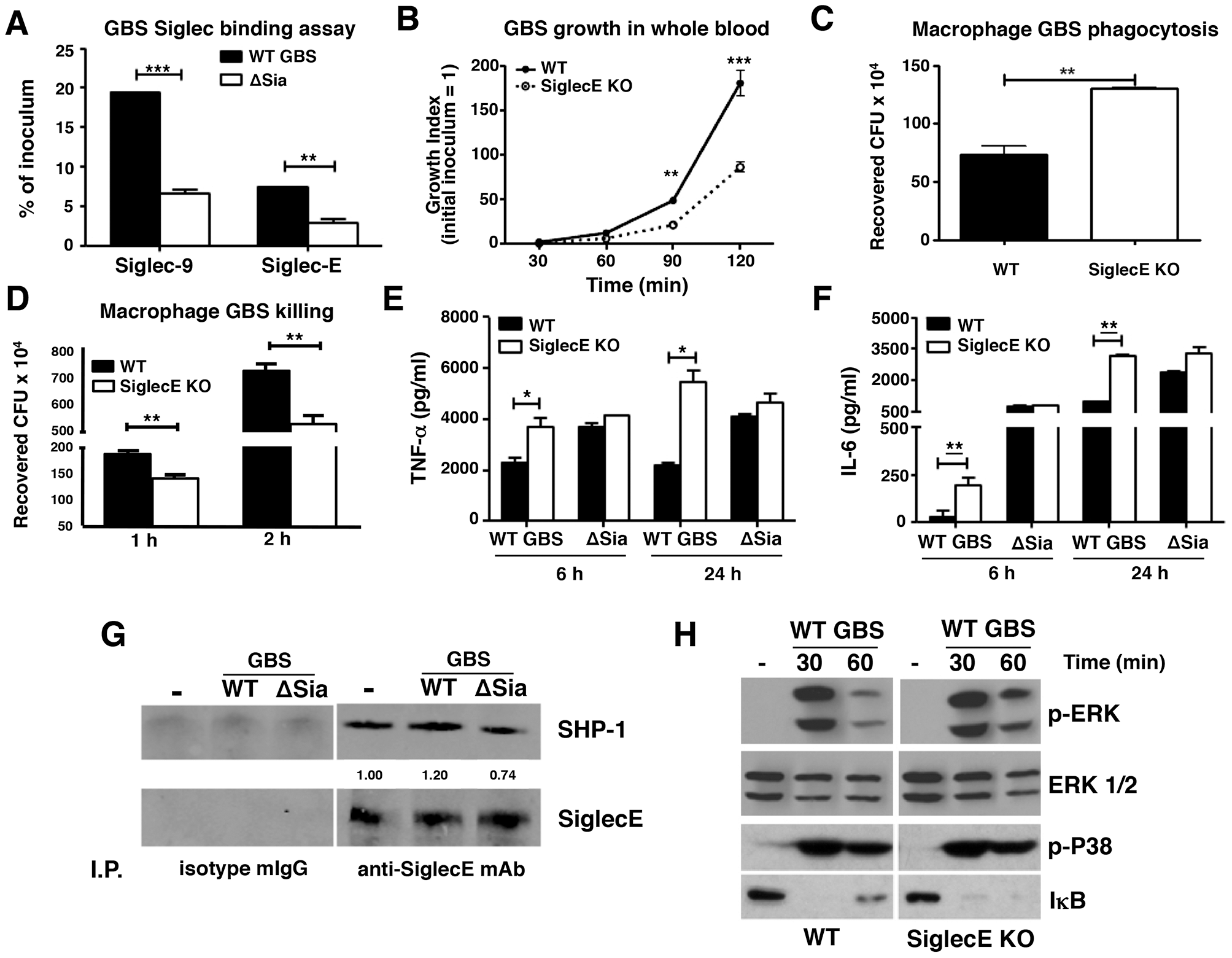 Augmented bactericidal activity in bone marrow-derived macrophages from Siglec-E KO mice.