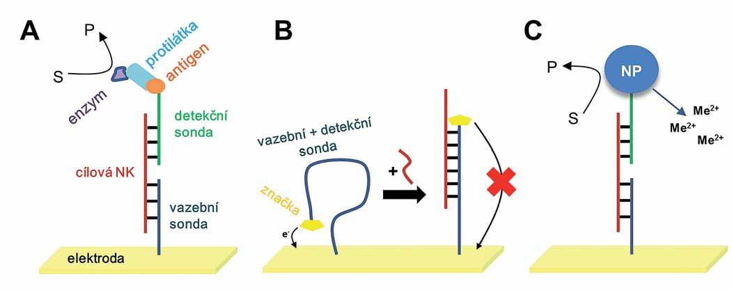 """Nejčastěji používané strategie pro detekci konkrétních sekvencí nukleových kyselin (NK) v hybridizačních senzorech.  A. Sendvičová strategie využívající dvě sondy: vazebnou sondu připevněnou na elektrodu a antigenem značenou detekční sondu pro vazbu protilátky konjugované s enzymem. Elektrochemicky je detekován produkt enzymatické reakce. B. Molekulární """"maják"""" s jedinou značenou sondou imobilizovanou na povrch elektrody. Cílová NK mění konformaci vazebné sondy a ovlivňuje výsledný signál. C. Sendvičová strategie, kde se namísto protilátky používají nanočástice (nanoparticles – NP); ty mohou katalyzovat reakci za vzniku elektroaktivního produktu, anebo v případě kovových NP je možné detekovat kationty kovů po jejich rozpuštění."""