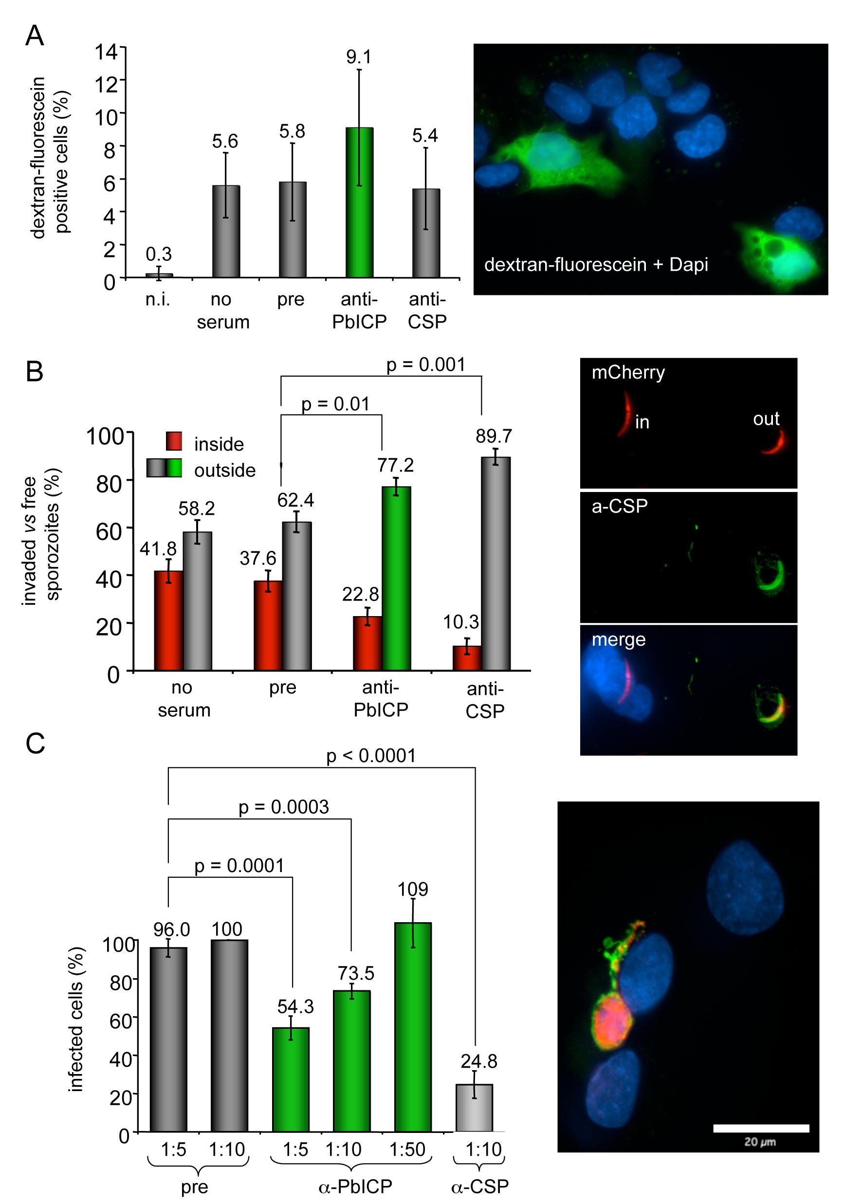 Antibody-mediated neutralization of PbICP reduces infectivity of sporozoites <i>in vitro</i> but does not inhibit cell traversal of sporozoites.