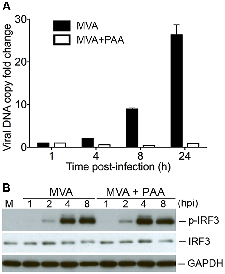 Viral DNA replication is not required for MVA-induced IRF3 phosphorylation.