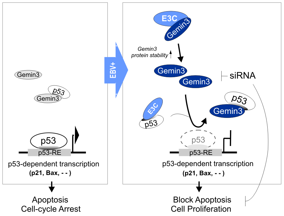 A schematic model depicting the Gemin3-mediated transcriptional regulation of p53 by EBNA3C in the EBV latently infected cells.