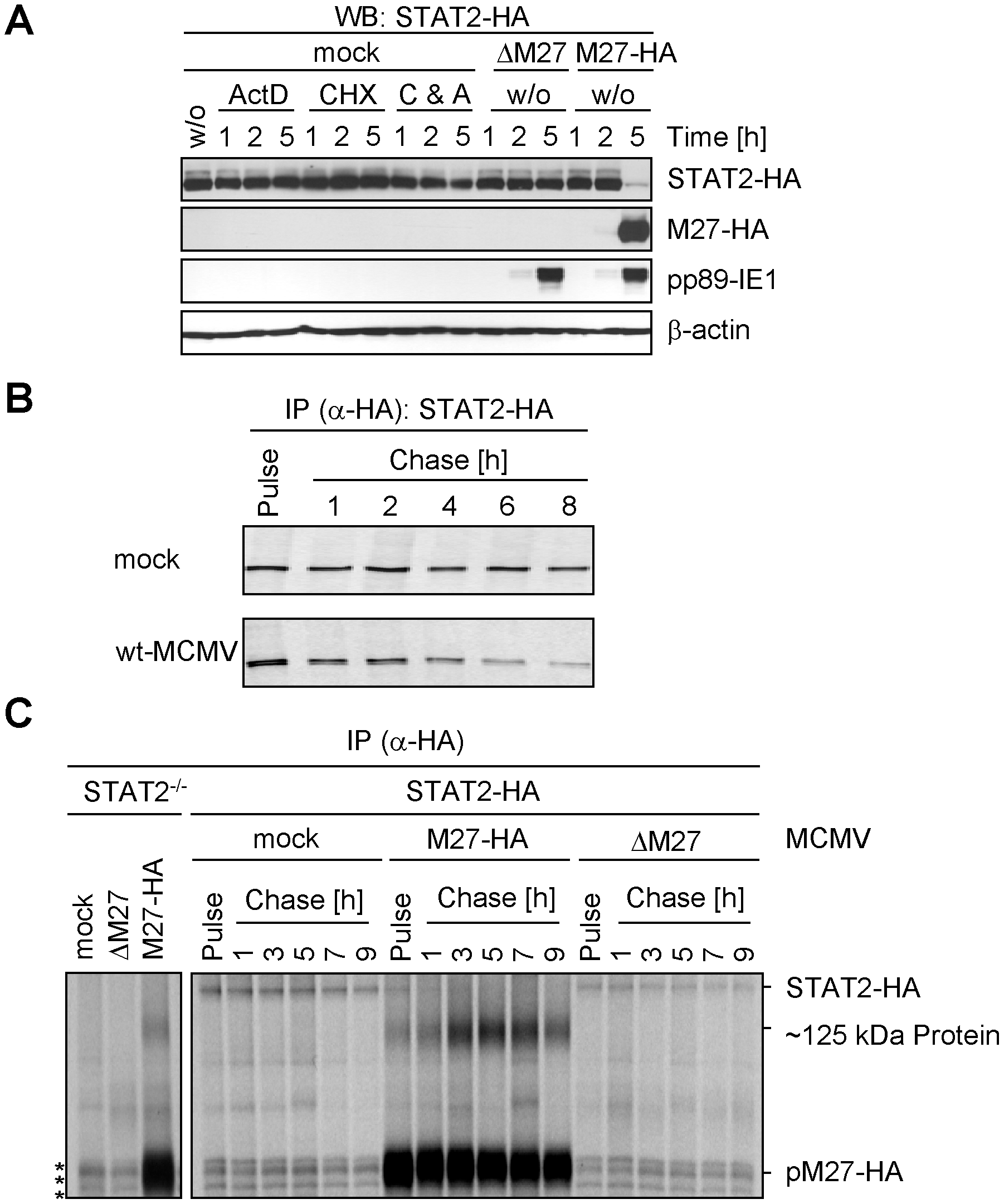pM27 affects STAT2 protein levels.