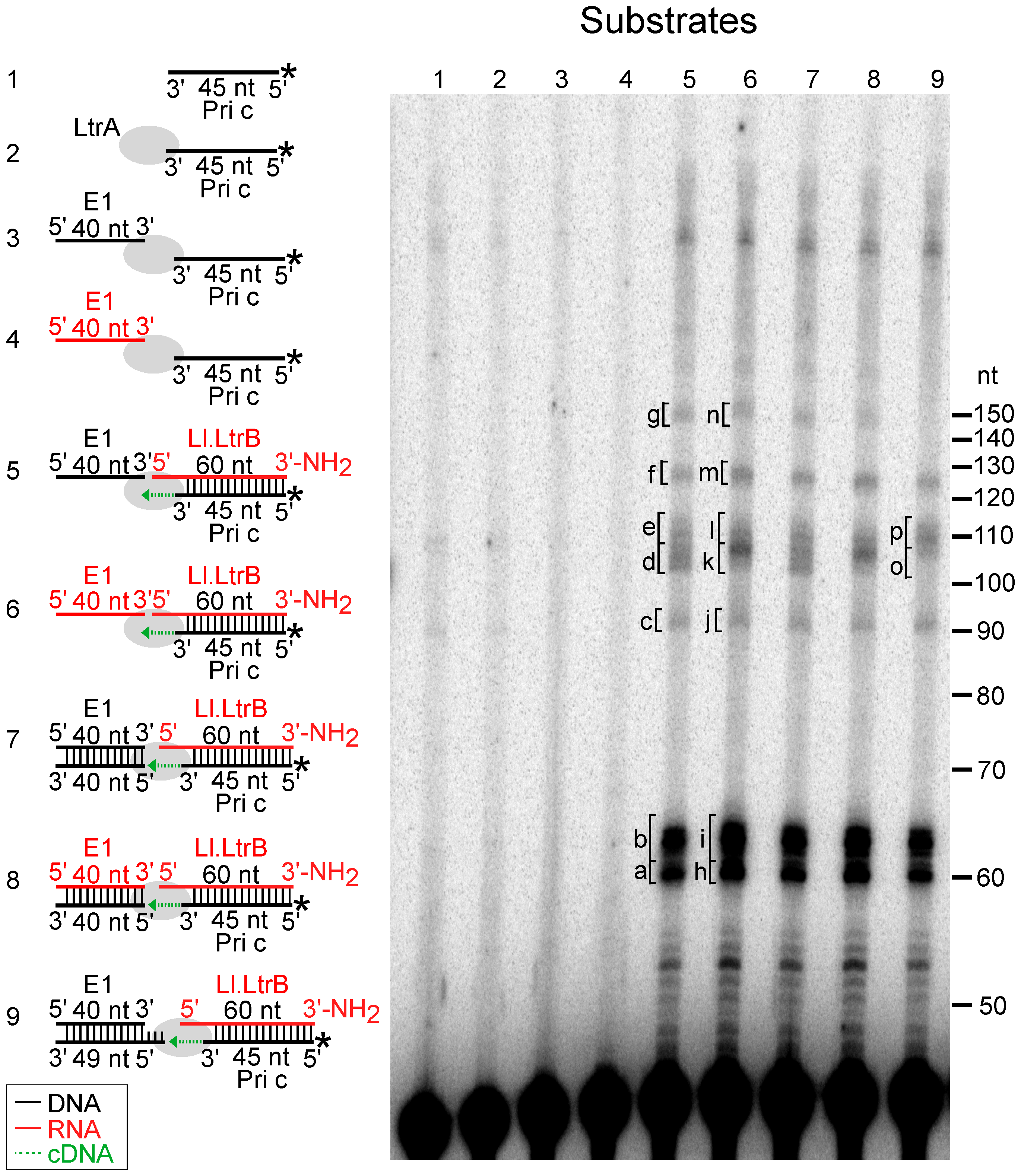 Template switching of LtrA from the 5′ end of the Ll.LtrB intron RNA to exon 1 DNA or RNA.
