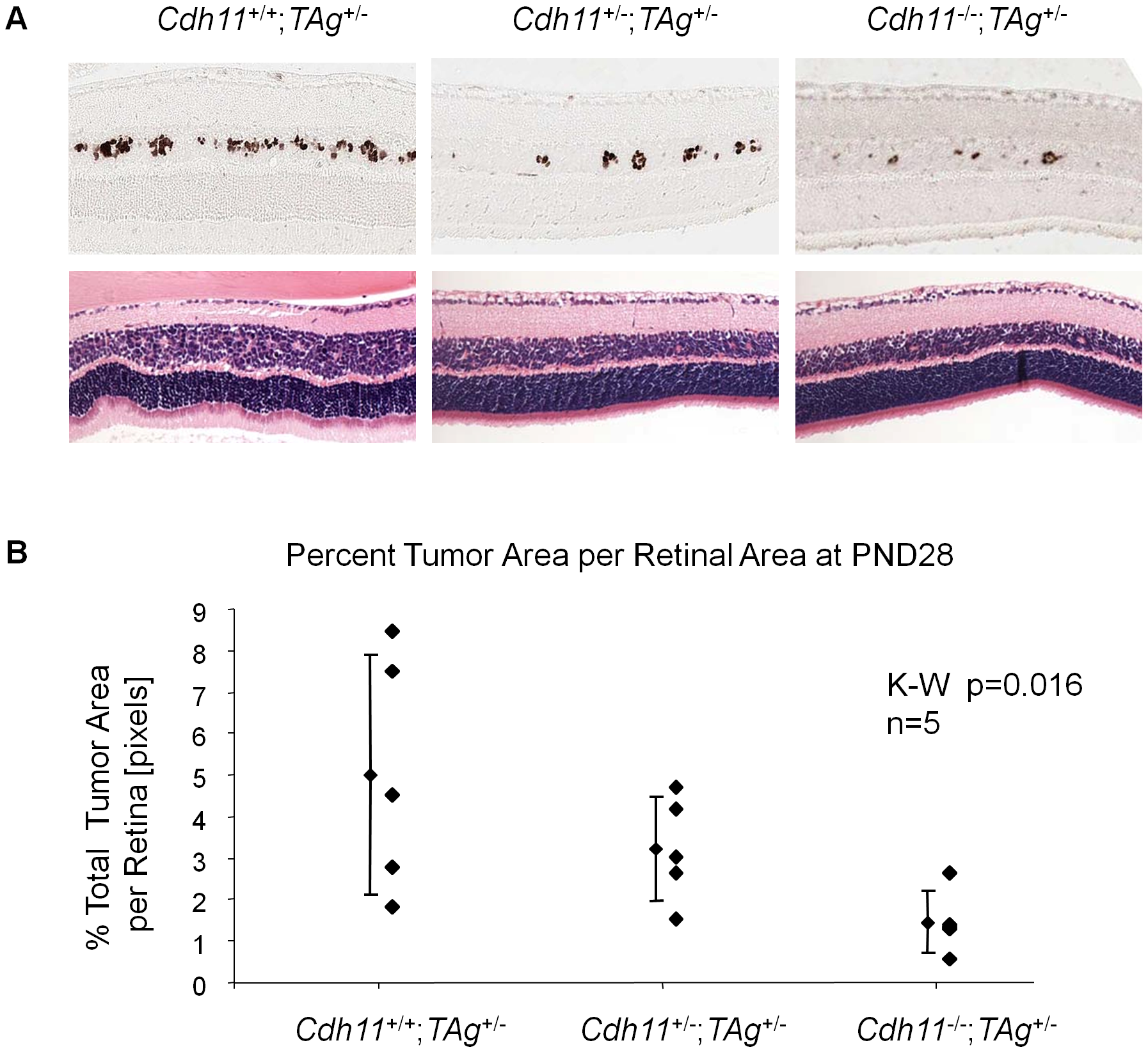 At PND28, fewer multifocal tumors developed when <i>Cdh11</i> alleles were lost.