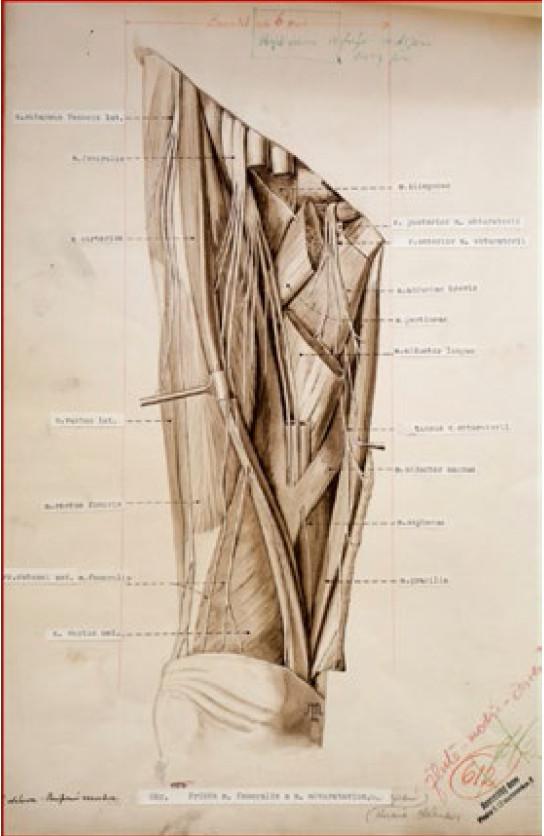 Nervus femoralis a nervus obturatorius (S. Macháček, 1954)