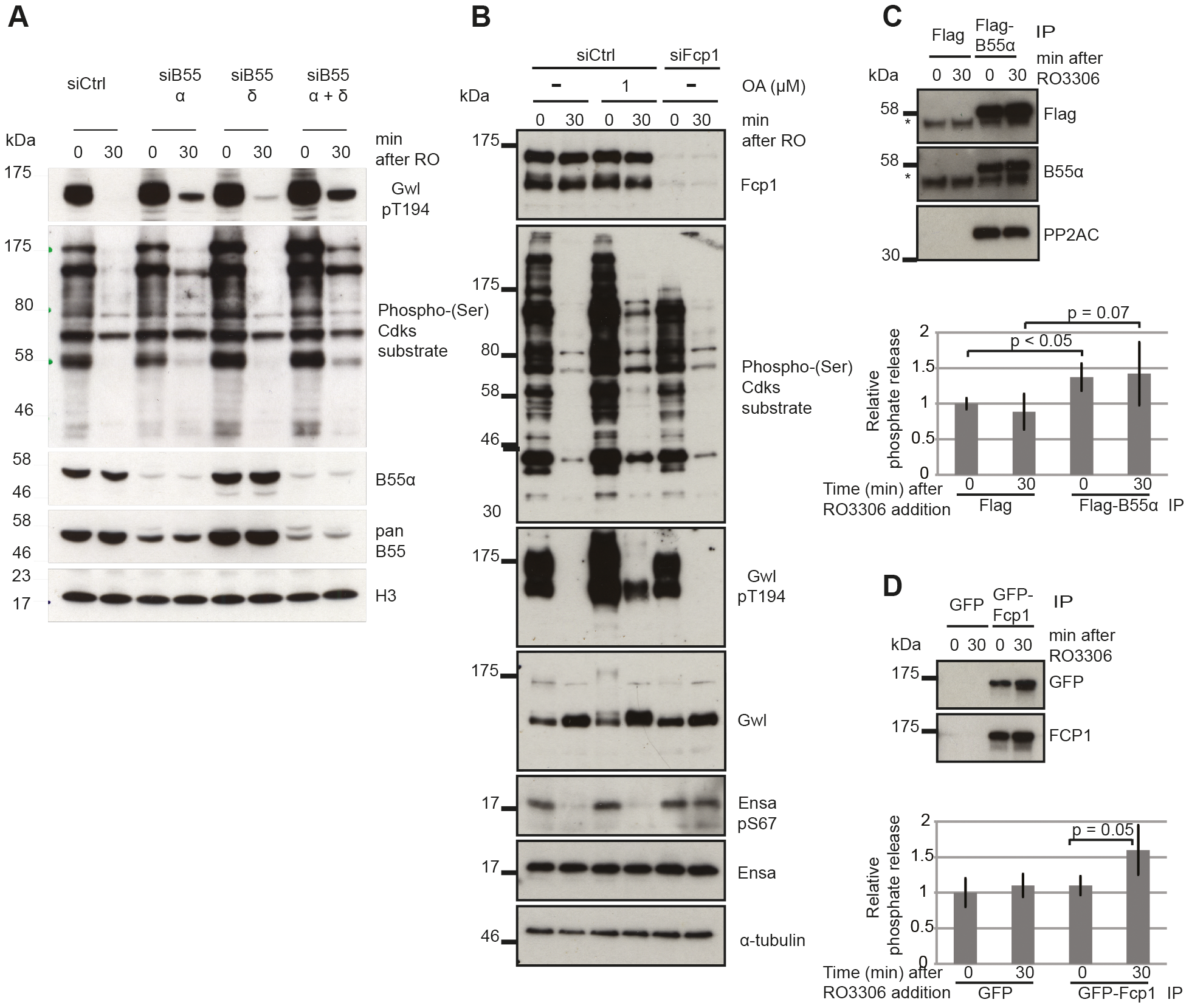 Identifying the phosphatases required for Gwl and Ensa/ARPP19.