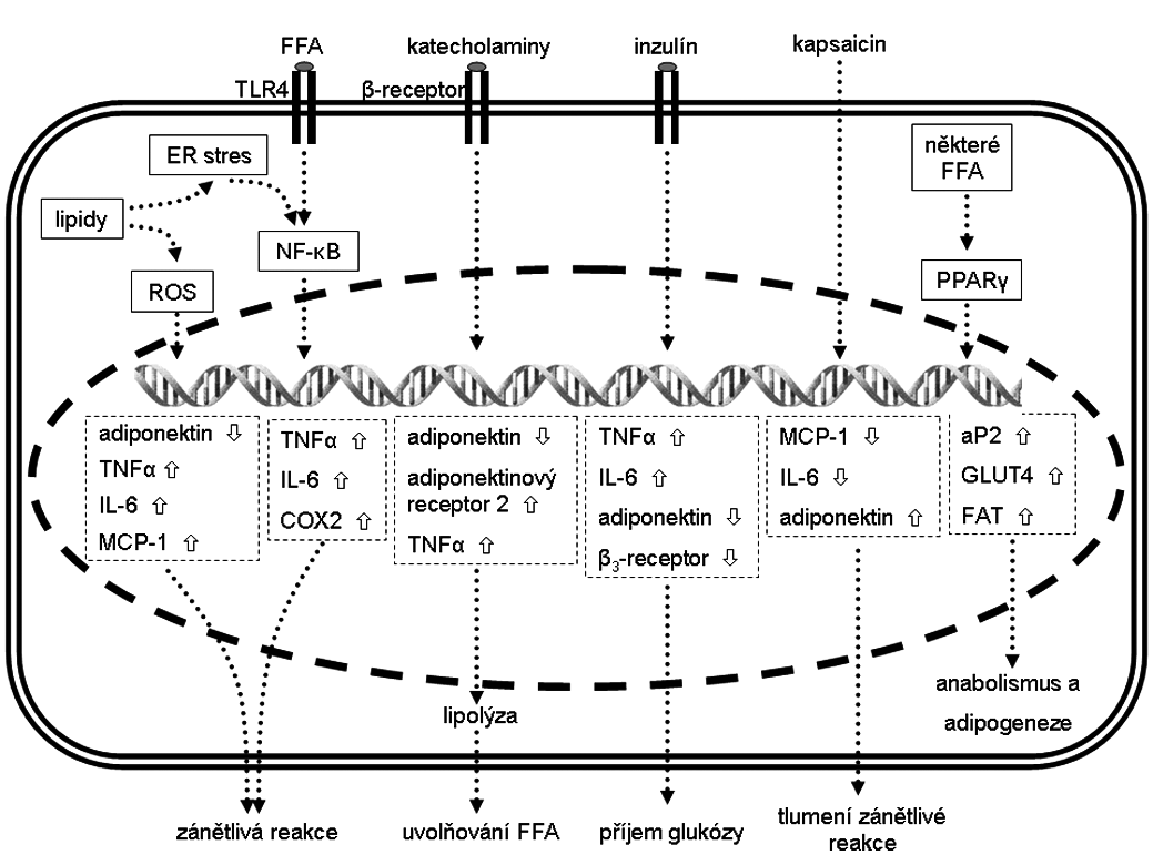 Změna exprese vybraných genů v adipocytech tukové tkáně a jejich (pato)fyziologický efekt Šipka  značí zvýšenou expresi a šipka  sníženou expresi. aP2 – adipocytární protein 2,  COX2 – cyklooxigenáza 2,  ER – endoplazmatické retikulum,  FAT – transportér mastných kyselin, FFA – volné mastné kyseliny,  GLUT – glukózový transportér z rodiny SLC2A,  IL-6 – interleukin 6,  MCP-1 – monocytární chemoatraktant protein-1,  NF-κB – jaderný faktor kappa B, PPAR – peroxizomální receptor aktivovaný proliferátory,  ROS – reaktivní kyslíkové radikály, TNF-α – tumor necrosis factor α,  TLR4 – toll-like receptor 4