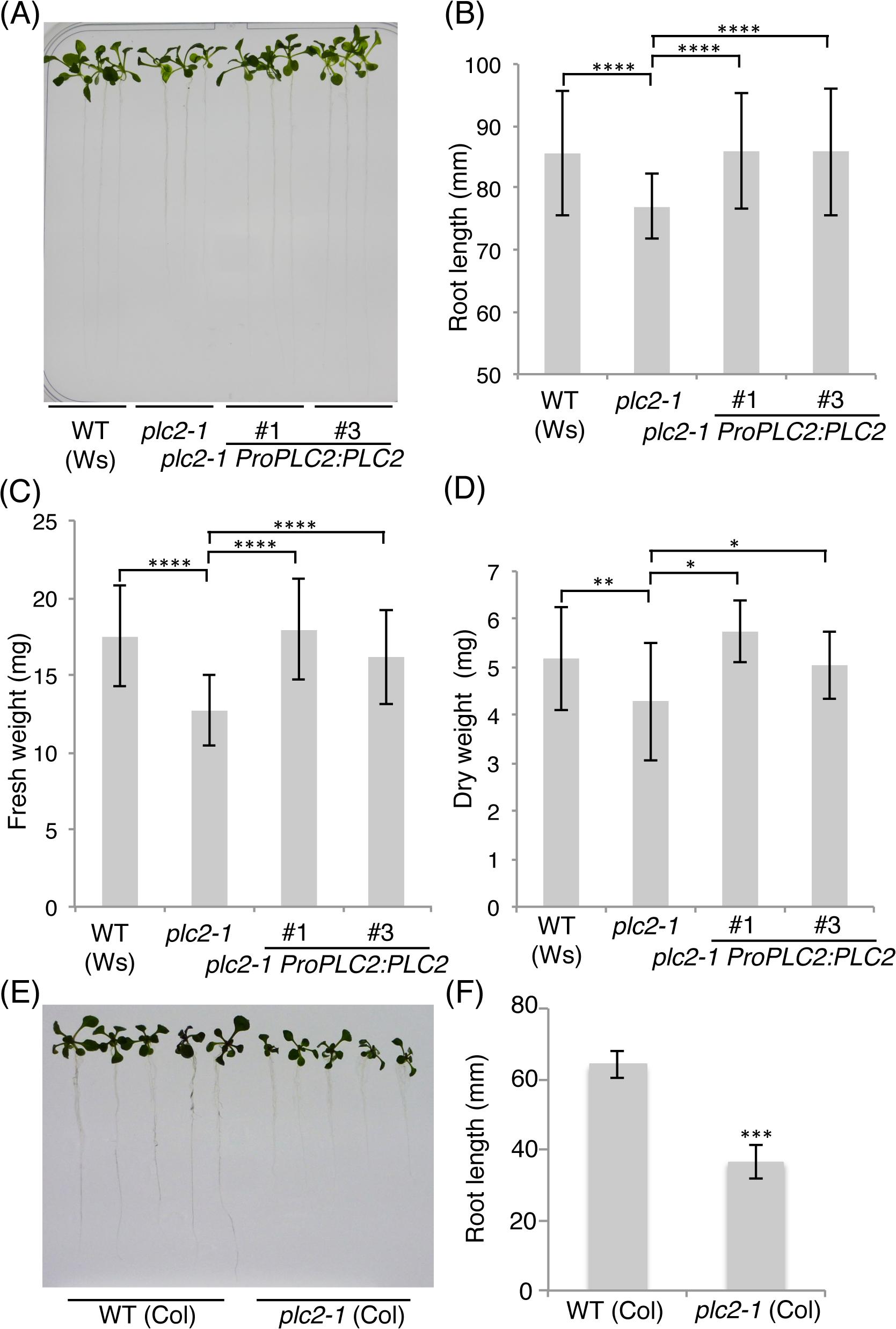 Seedling growth defect of the <i>plc2-1</i> mutant.