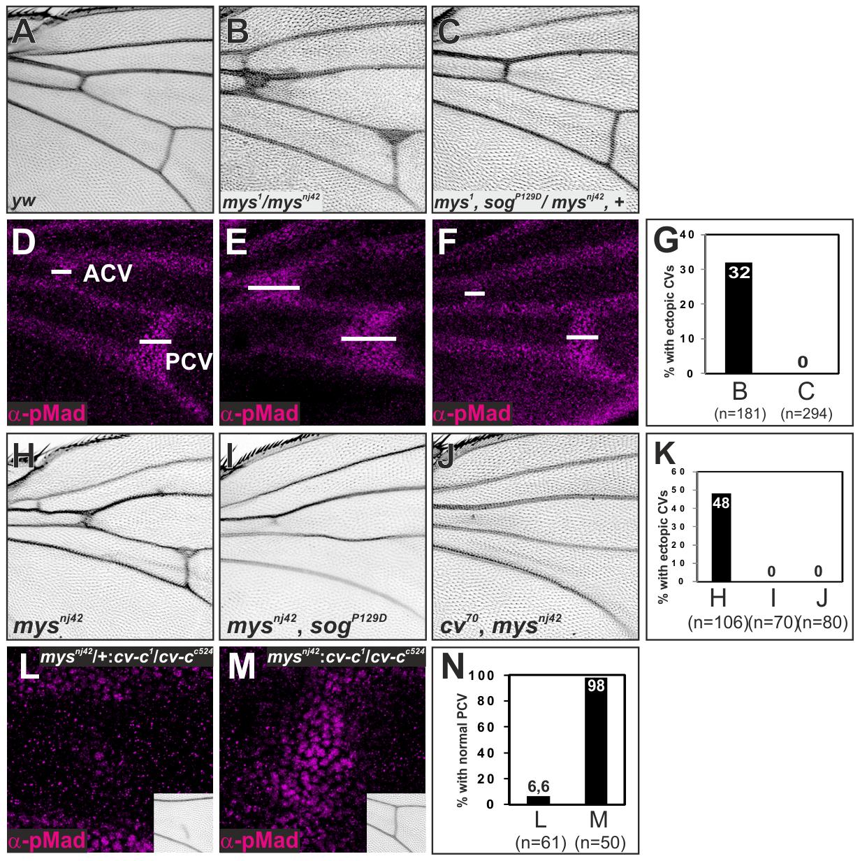 ß-integrin links Sog-Cv-dependent BMP signaling and PCV morphogenesis.