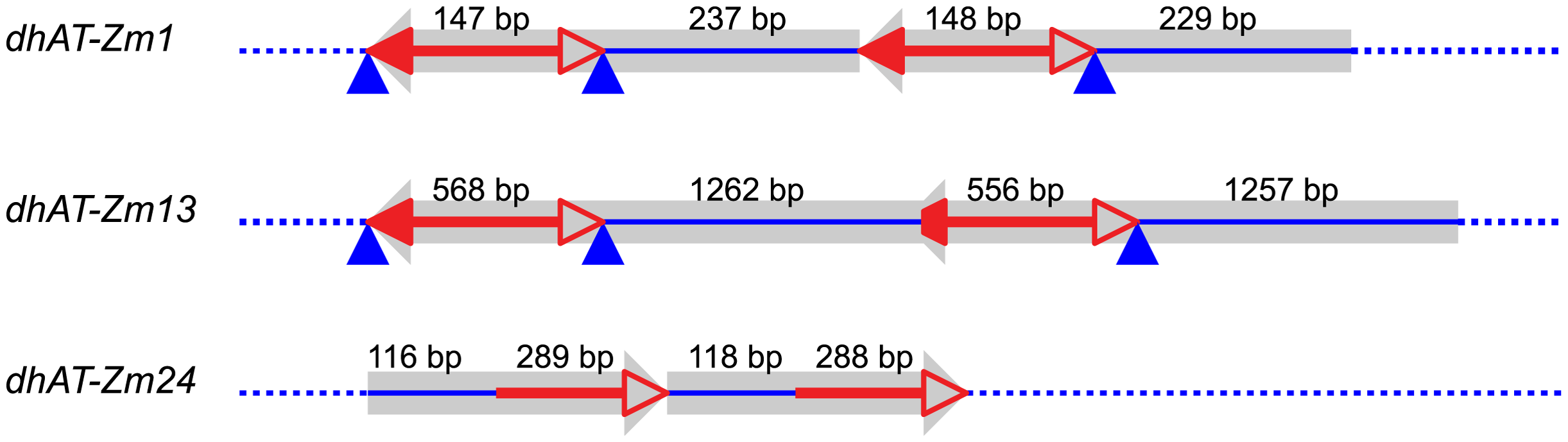 Tandem direct duplications in maize generated by Reversed-Ends Transposition.