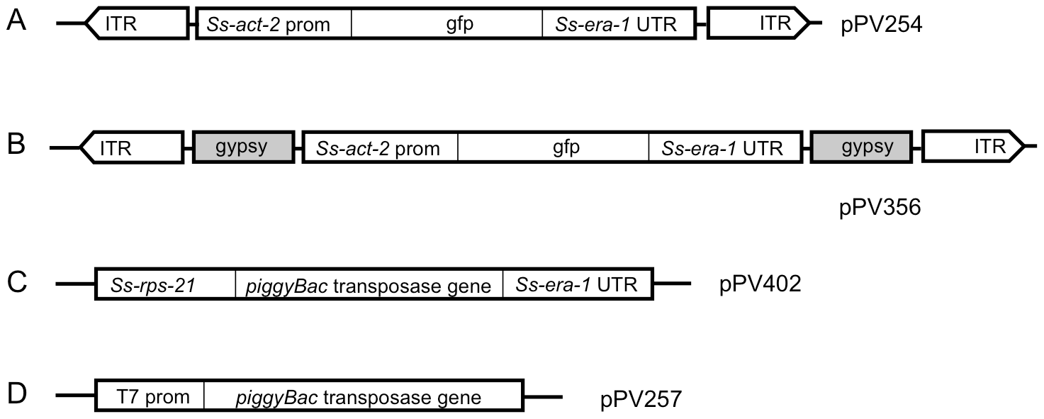 Vector constructs used to establish stable transgenic lines of <i>Strongyloides ratti</i> incorporate elements of the <i>piggyBac</i> transposon system.