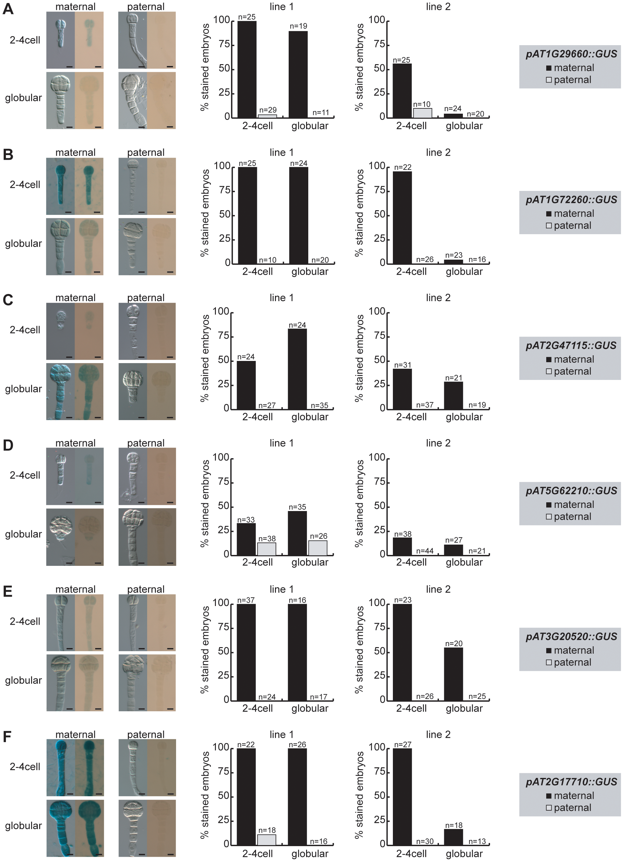 Parent-of-origin-dependent expression of MEG reporter lines in isolated embryos.