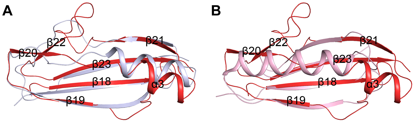 Superpositions of the β-GF module against A) the Ig-binding proteins of B1 domain of mucus-binding protein type 2 repeat Mub-R5 from <i>L. reuteri</i> (PDB 3I57), and B) that of Protein L (PpL) from <i>P. magnus</i> (PDB 1HEZ).