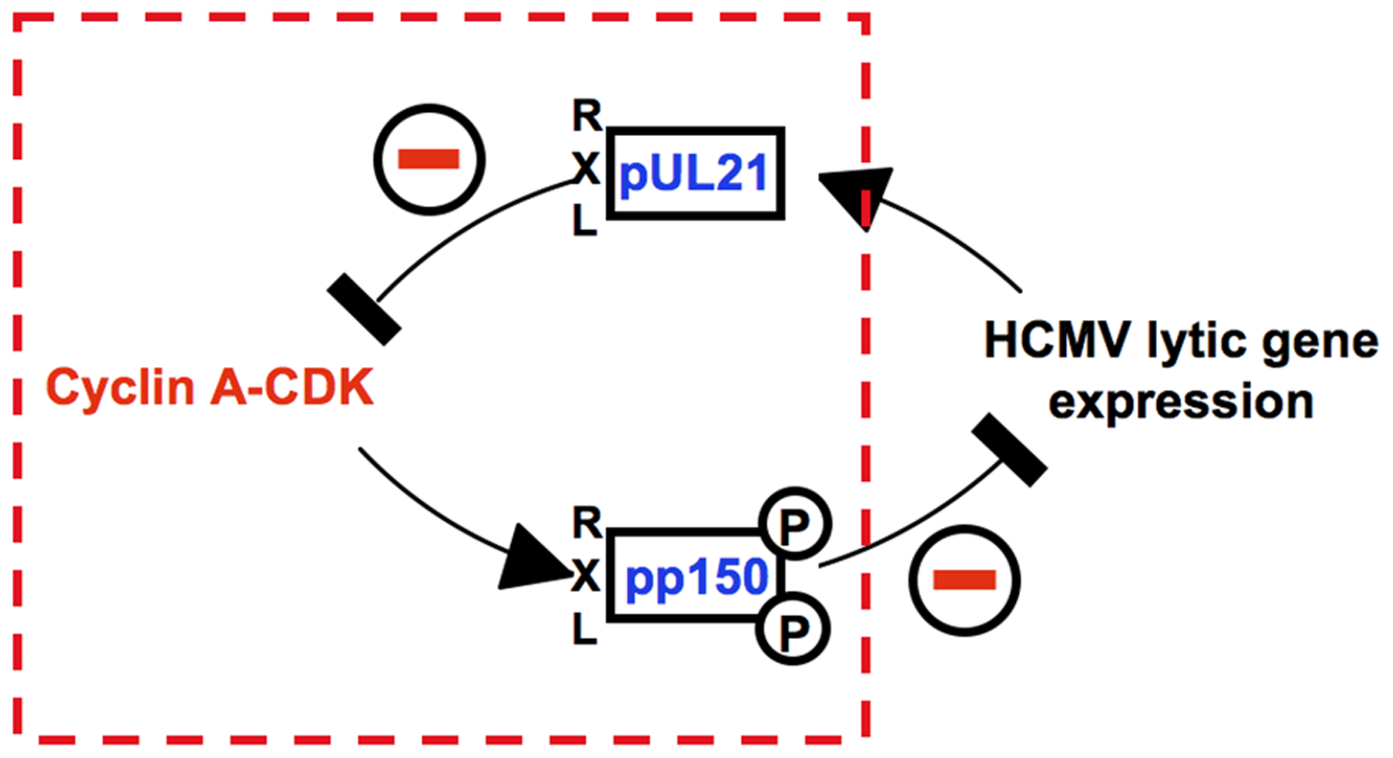 An RXL-based molecular interface between HCMV and Cyclin A2.