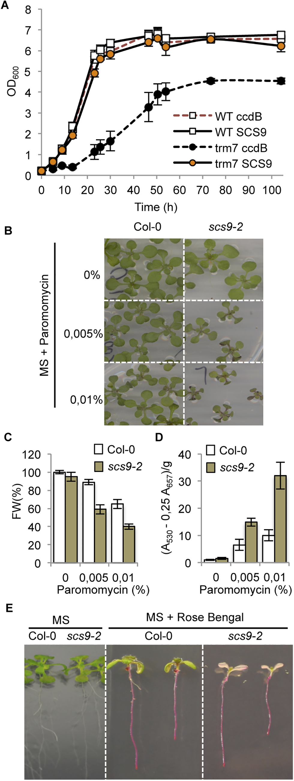 Complementation of the <i>Saccharomyces cerevisiae trm7</i>Δ strain with Arabidopsis <i>SCS9</i> cDNA, and hypersensitivity of <i>scs9-2</i> seedlings to paramomycin and rose bengal.