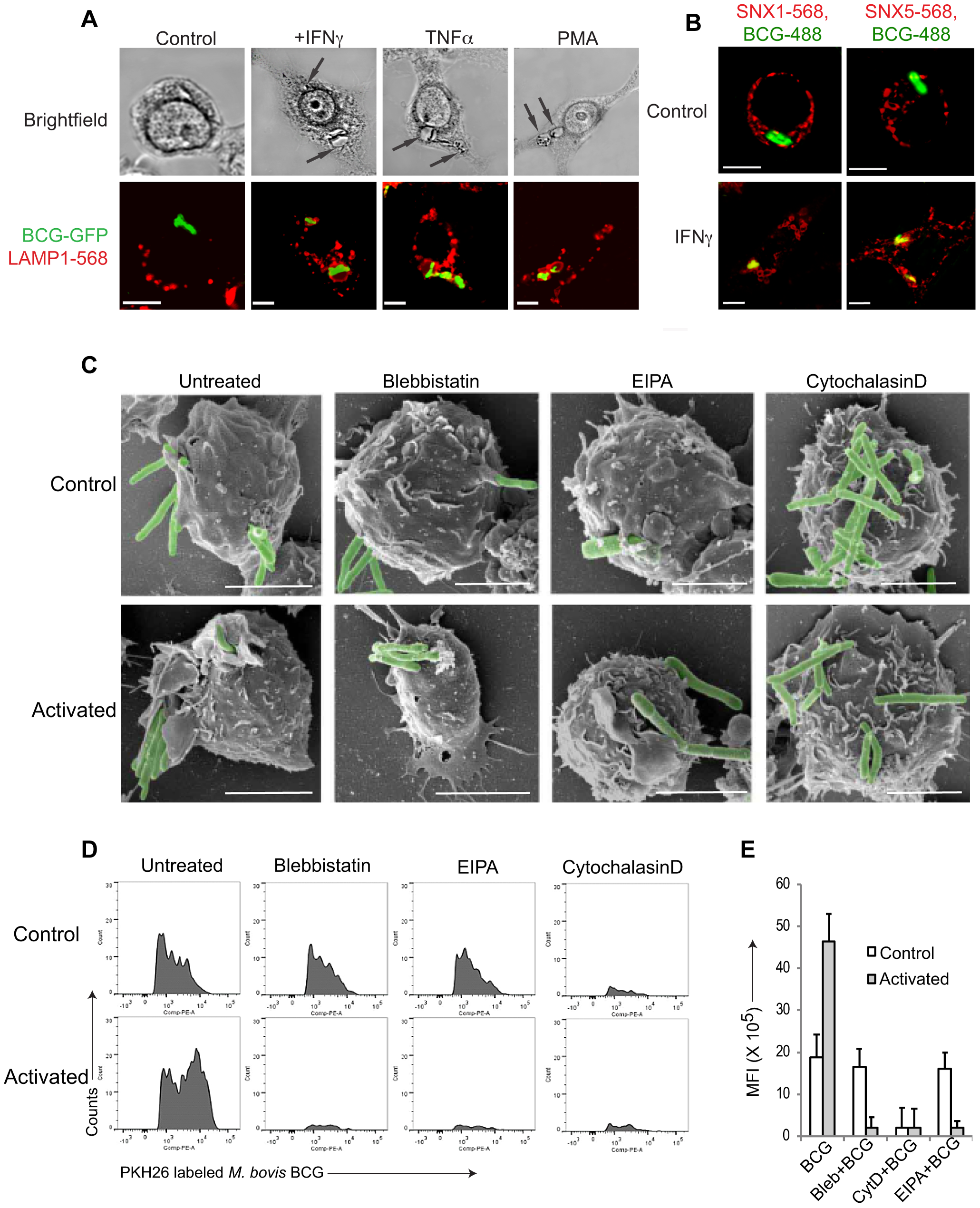 Macrophage activation results in mycobacterial entry via macropinocytosis.