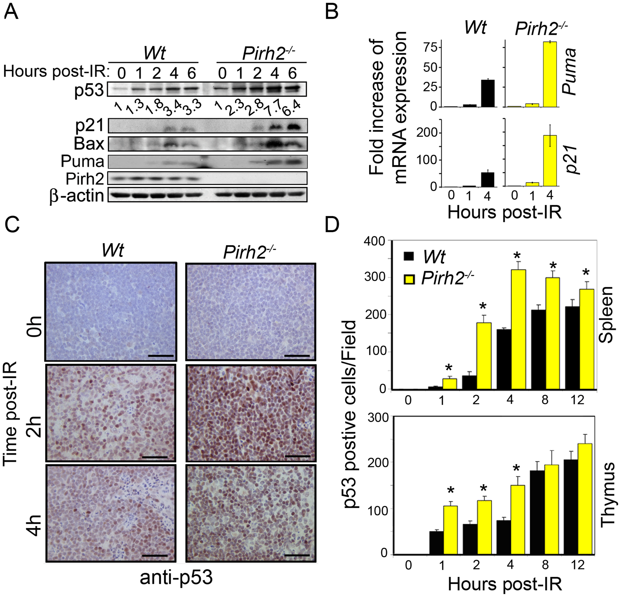 Pirh2 Negatively Regulates p53 Turnover in Response to DNA Damage.