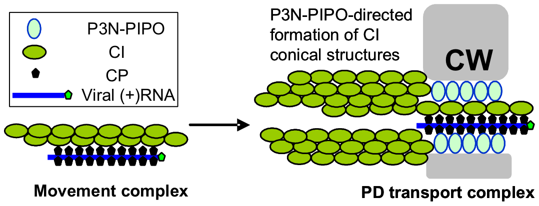 Model for potyvirus intercellular transport through PD.