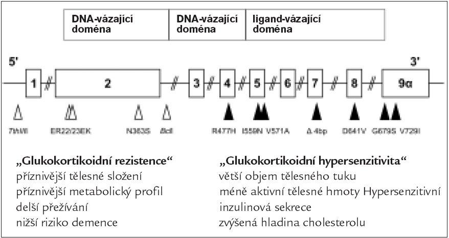 Gen glukokortikoidního receptoru (GKR) a jeho polymorfizmů; upraveno podle [18].