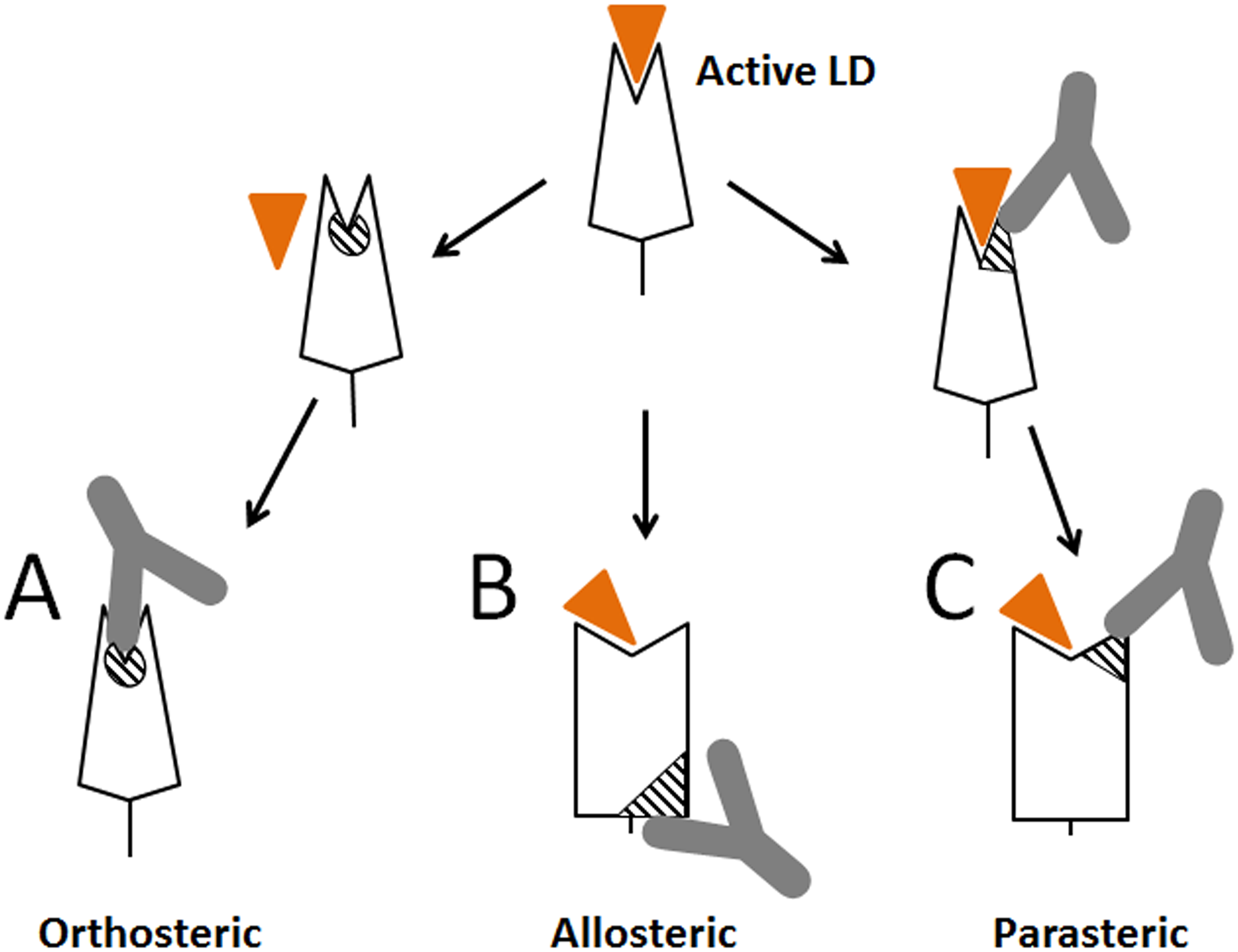 Schematic representation of different types of antibodies against lectin domain (LD) of FimH.