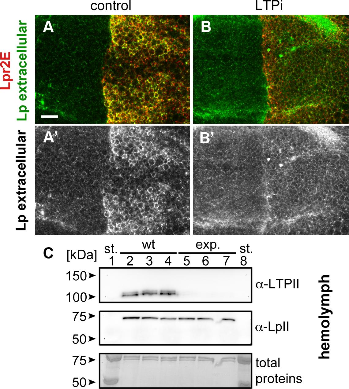 Lpr2E-mediated lipophorin extracellular stabilization requires LTP.