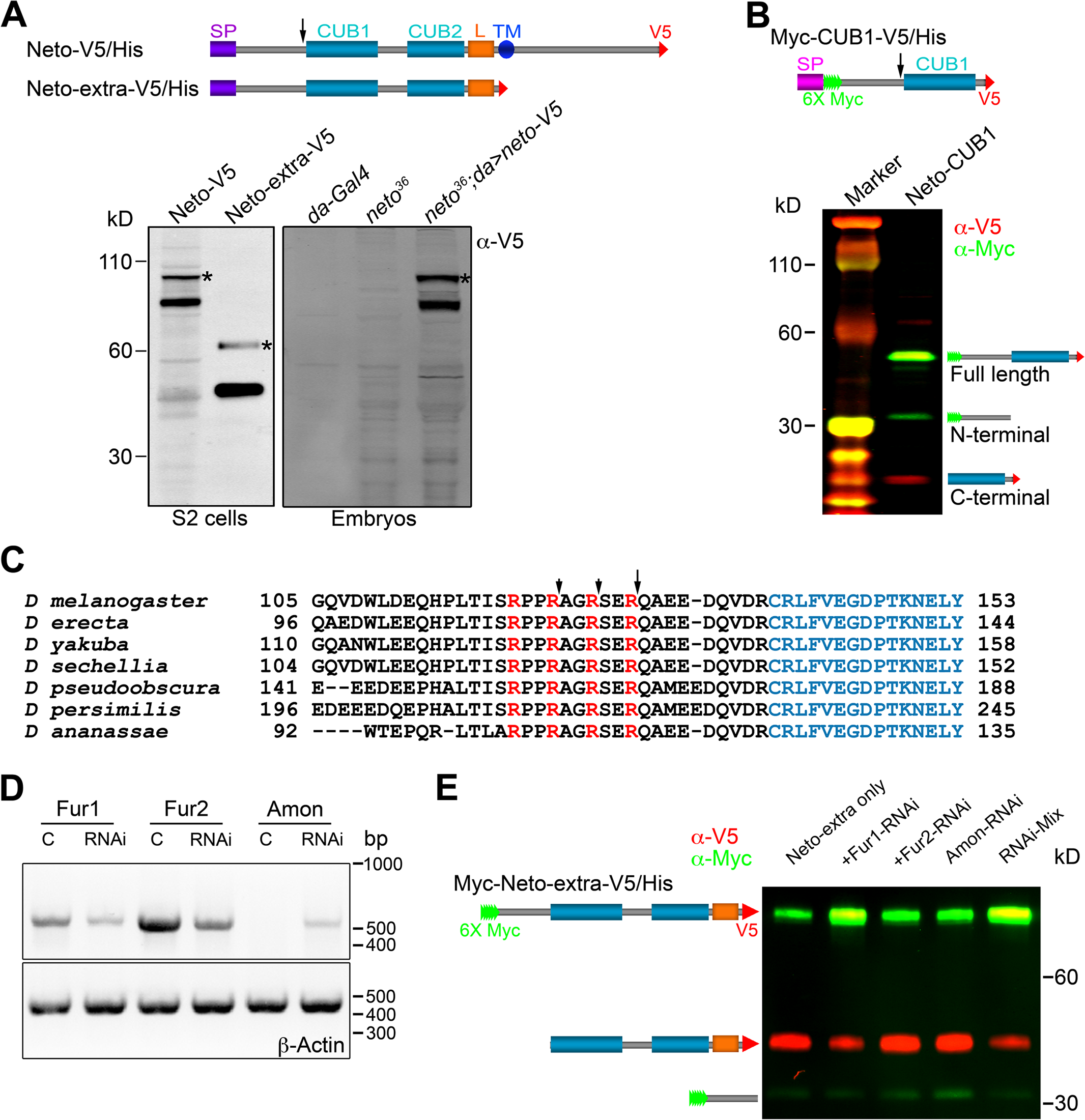 Neto contains a prodomain cleaved by Furin1-mediated limited proteolysis.