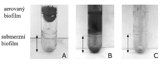 Kvantifikace aerovaného biofilmu A, B – producenti aerovaného biofilmu, C – kmen neprodukující aerovaný biofilm  Fig. 1. Biofilm quantification: A, B – formation of aerated biofilm, C – no formation of aerated biofilm