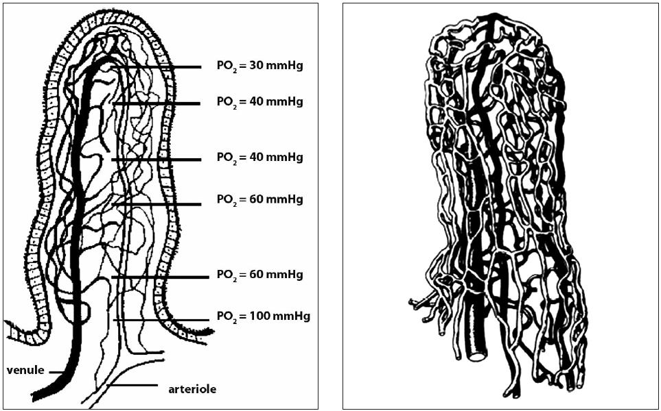 Obr. 1A,B. Protiproudová výměna kyslíku v klku – fyziologický shunt a mikrovaskulární struktura klku (podle de Figueireda [23] a Spannera [27]) – vlevo Protiproudová výměna kyslíku mezi přívodnou arteriolou a odvodnou venulou s progresivním snižováním arteriolární tenze kyslíku (paO<sub>2</sub>)– vpravo Vaskulární anatomie lidského klku s radiální orientací kapilár; tučně jsou vyznačeny arterioly, bíle venuly.