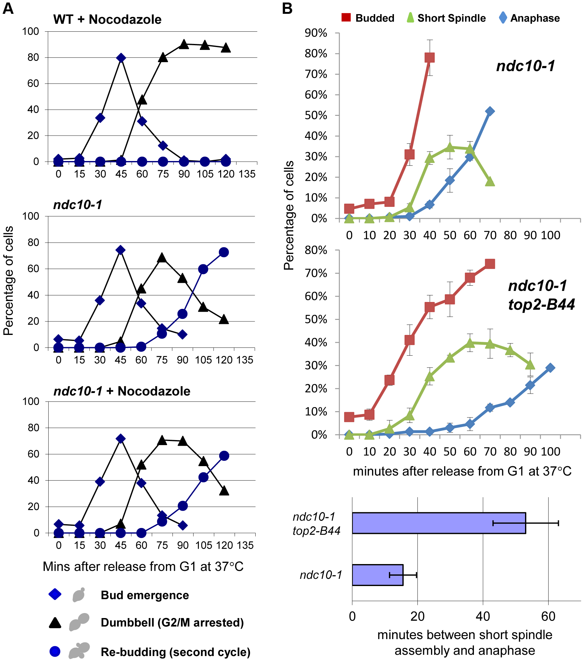 Checkpoint Activation by Top2-B44 is Independent of Kinetochores.
