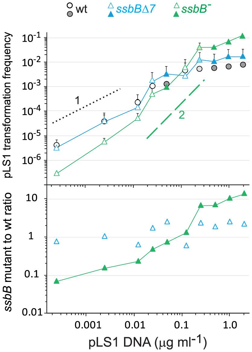 SsbB antagonizes plasmid transformation at high DNA concentration.