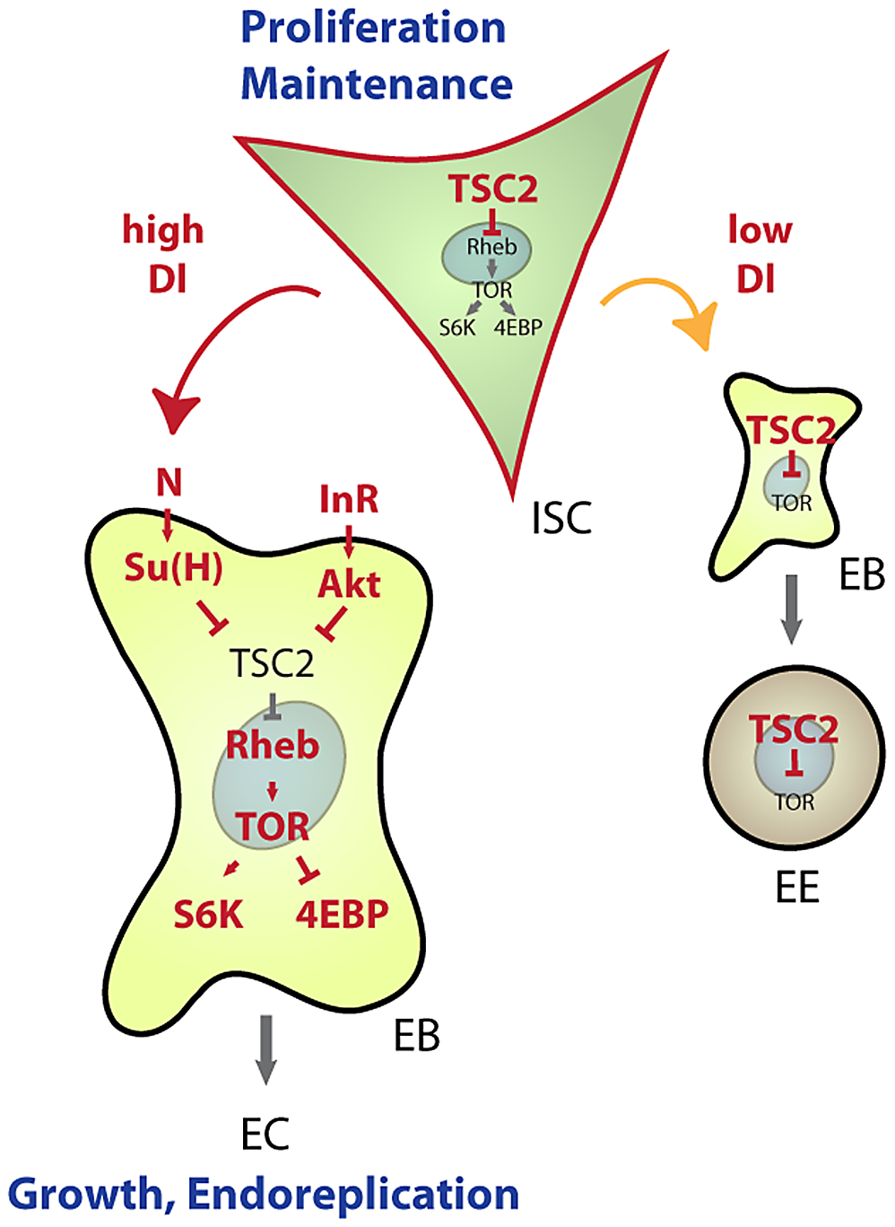 Model for TSC–mediated regulation of cell differentiation in the ISC lineage.
