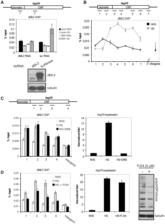 dMi-2 recruitment to HS genes requires PARP activity.