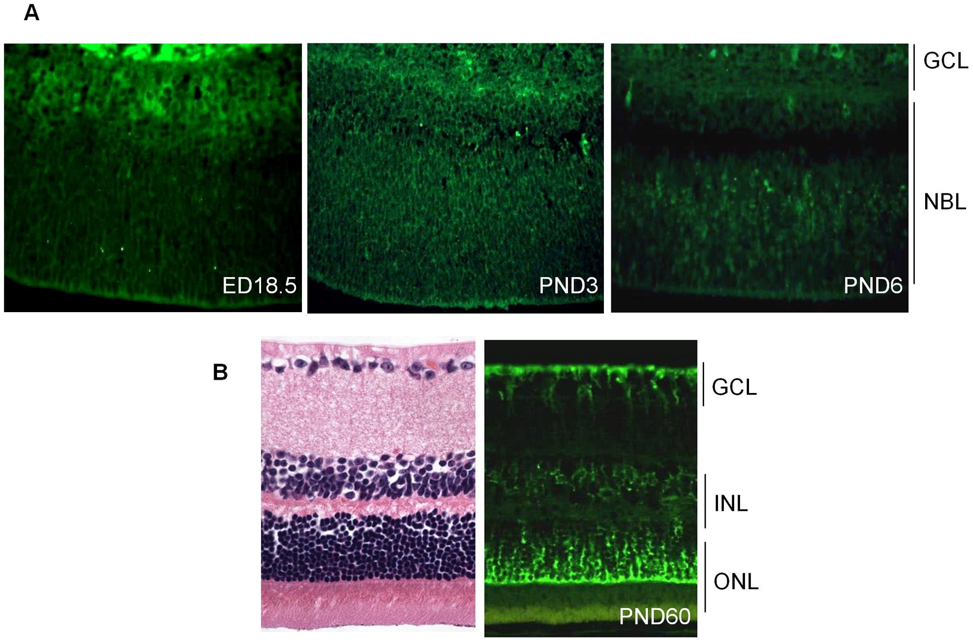 Expression of cadherin-11 in developing murine retina.