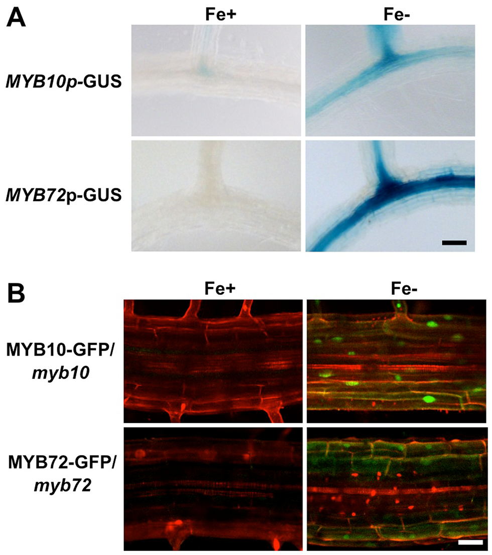<i>MYB10</i> and <i>MYB72</i> are expressed in the root under iron deficiency.