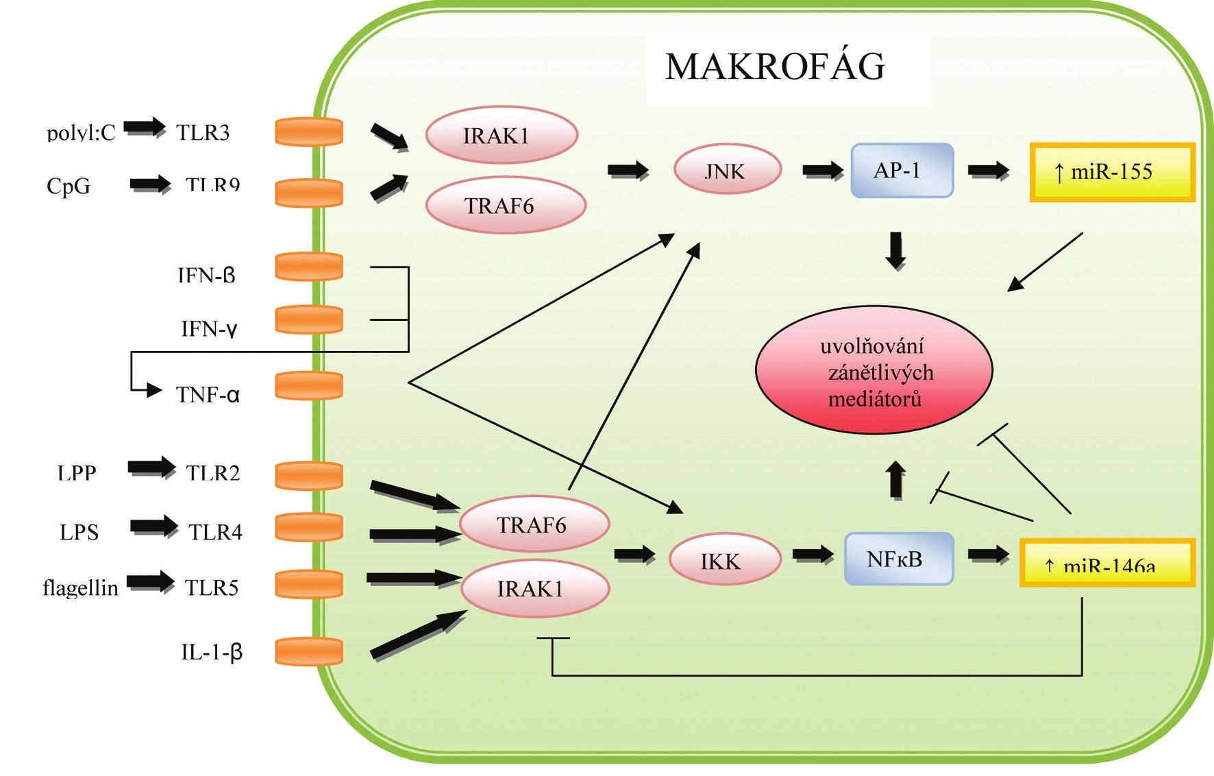 Role miRNA v regulaci imunitní odpovědi makrofágů