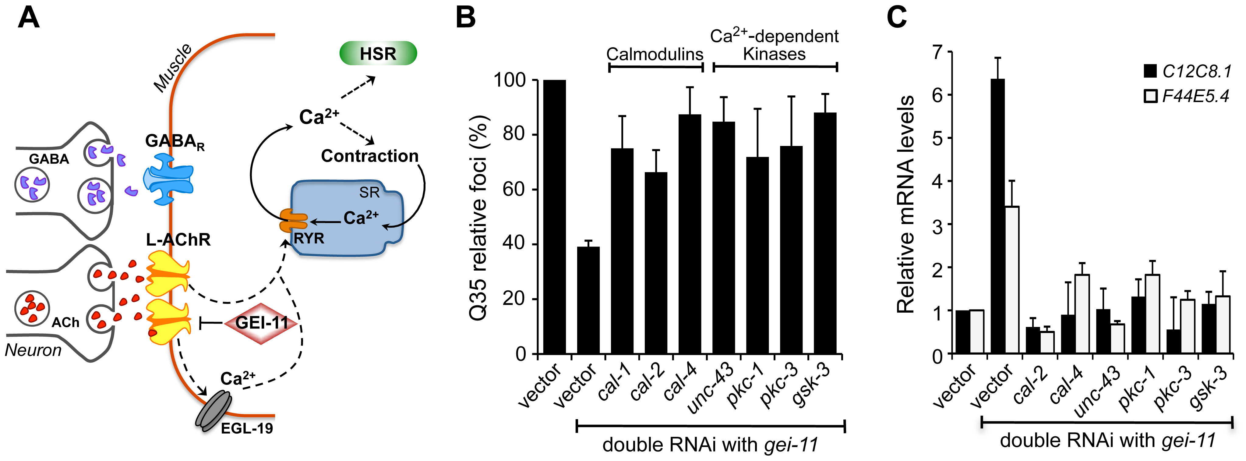 Ca<sup>2+</sup>-dependent kinases required for activation of the HSR and folding enhancement.