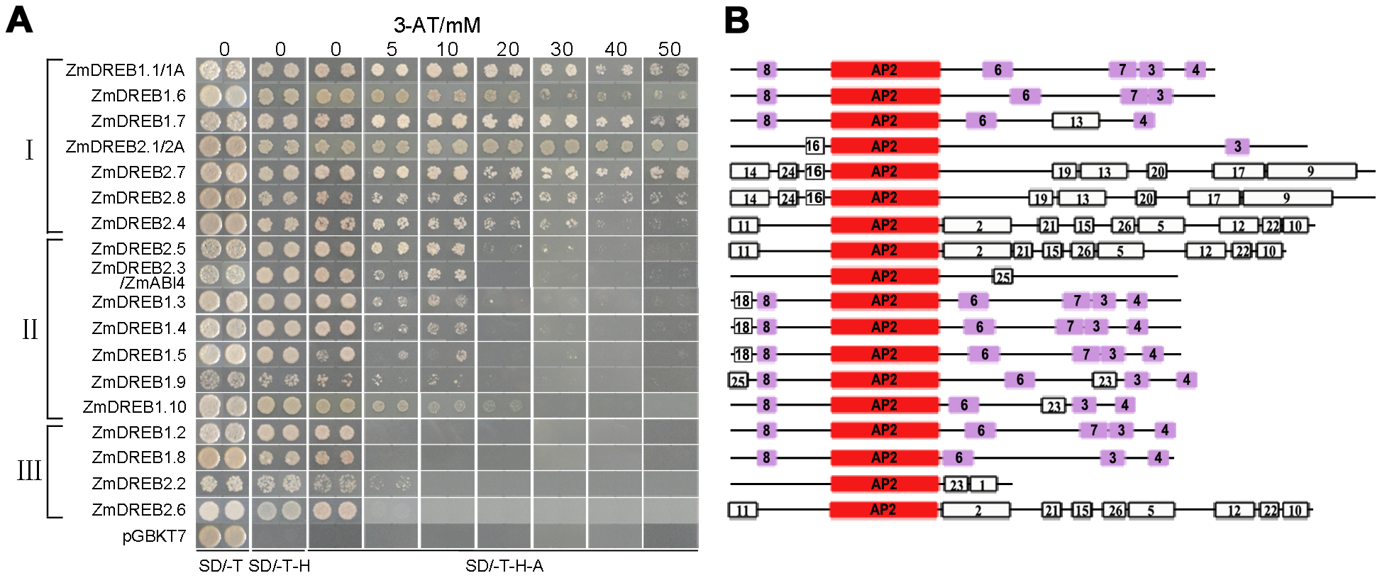 Transactivation activity assay and motif analysis of 18 ZmDREB proteins.