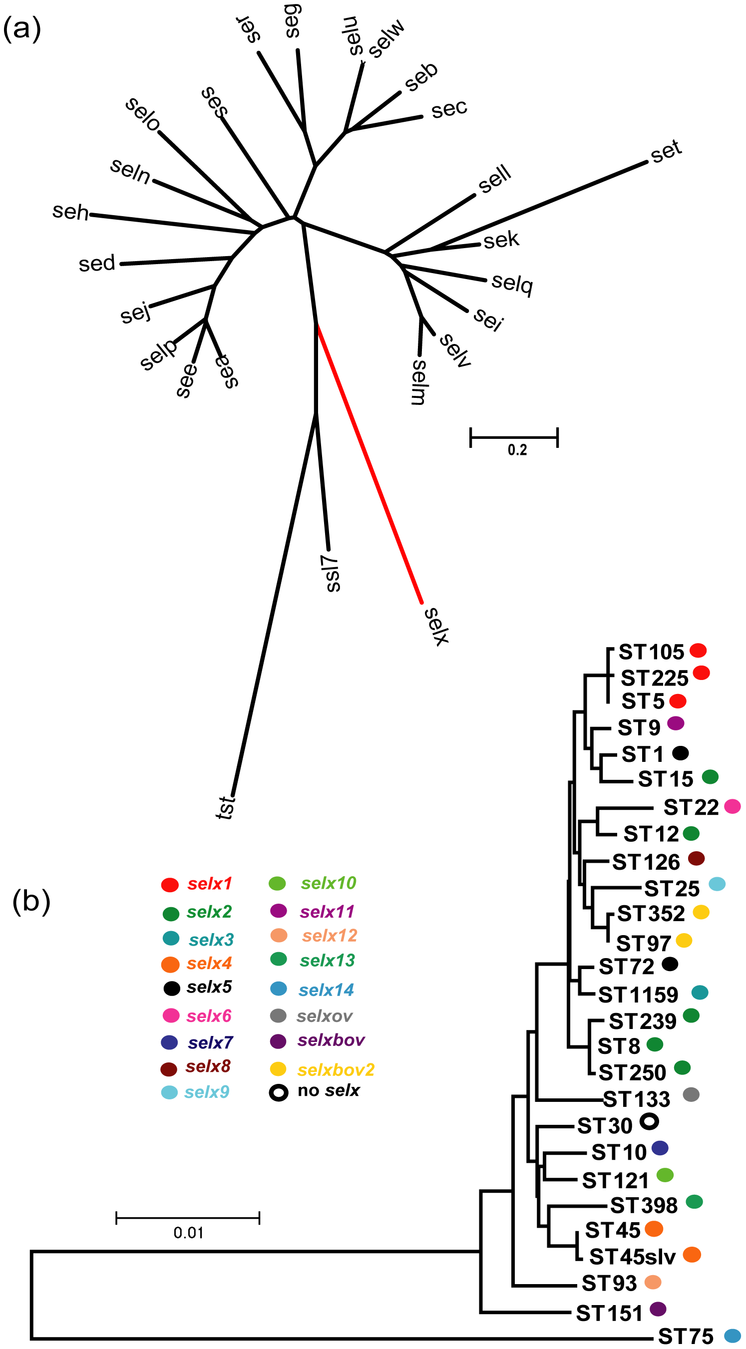 Phylogenetic analysis of <i>selx</i> and its species-wide distribution.