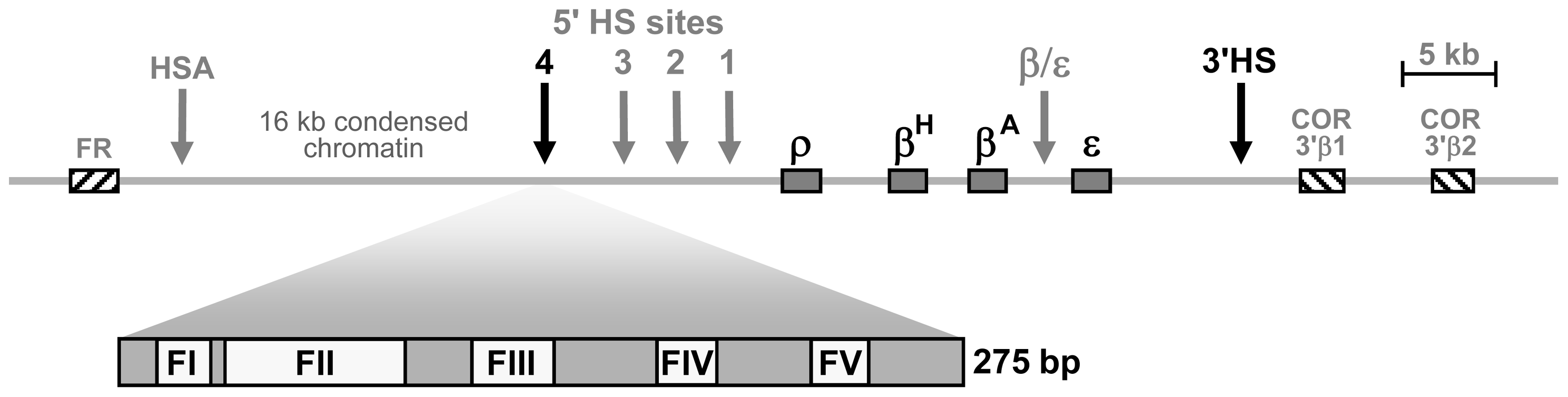 Schematic representation of the chicken <i>β-globin</i> cluster and surrounding loci.