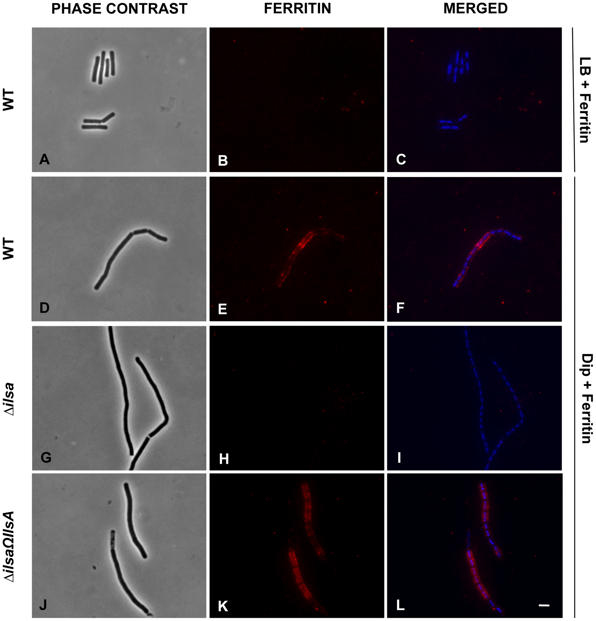 IlsA is essential for ferritin binding on <i>B. cereus</i> cell surface.